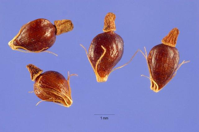 http://plants.usda.gov/gallery/large/elqu_003_lhp.jpg