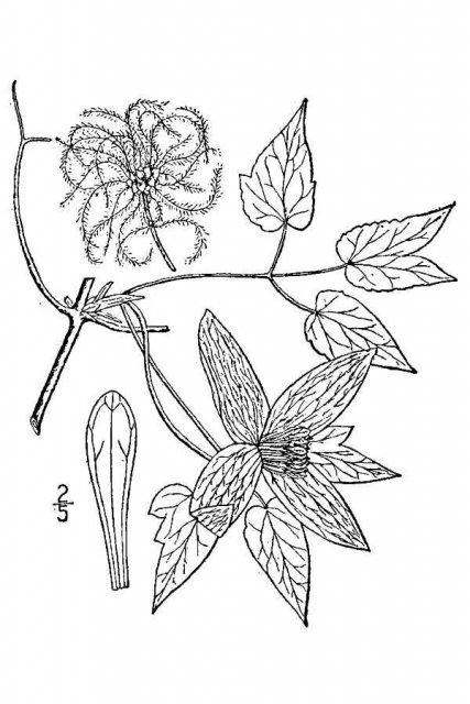 http://plants.usda.gov/java/largeImage?imageID=atam2_001_avd.tif