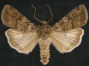 http://mothphotographersgroup.msstate.edu/species.php?hodges=10705