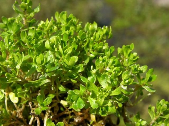 http://www.biopix.com/blinks-montia-fontana-ssp-fontana_photo-35144.aspx