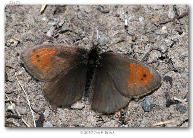 http://butterfliesofamerica.com/images/Nymphalidae/Satyrinae/erebia_c_callias/Erebia_callias_3_mi_W_of_Togwotee_Pass_Teton_Co_WY_USA_27-VII-2010_1.JPG