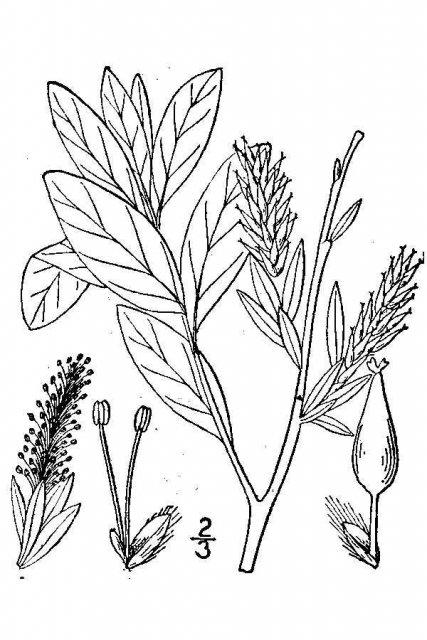 http://plants.usda.gov/java/largeImage?imageID=sape2_001_avd.tif
