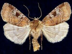 http://mothphotographersgroup.msstate.edu/species.php?hodges=10921