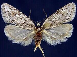 http://mothphotographersgroup.msstate.edu/species.php?hodges=0915