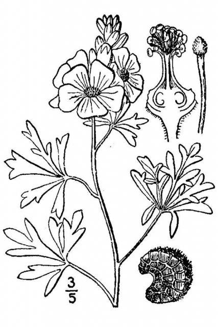 http://plants.usda.gov/java/largeImage?imageID=maco25_001_avd.tif