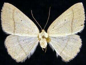 http://mothphotographersgroup.msstate.edu/species.php?hodges=6681