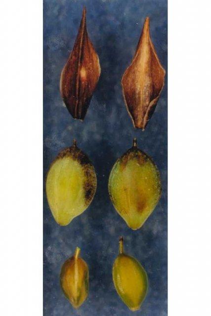 http://plants.usda.gov/gallery/large/capa22_003_lvp.jpg