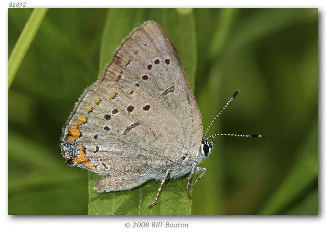 http://butterfliesofamerica.com/satyrium_a_acadica_live1.htm