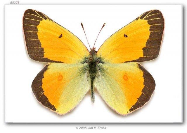 http://butterfliesofamerica.com/colias_c_christina_specimens2.htm