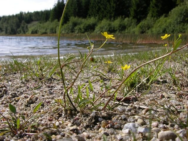 http://www.biopix.com/lesser-spearwort-ranunculus-flammula-ssp-flammula_photo-28131.aspx