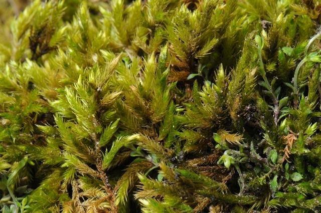 http://www.biopix.com/yellow-feather-moss-homalothecium-lutescens_photo-78255.aspx