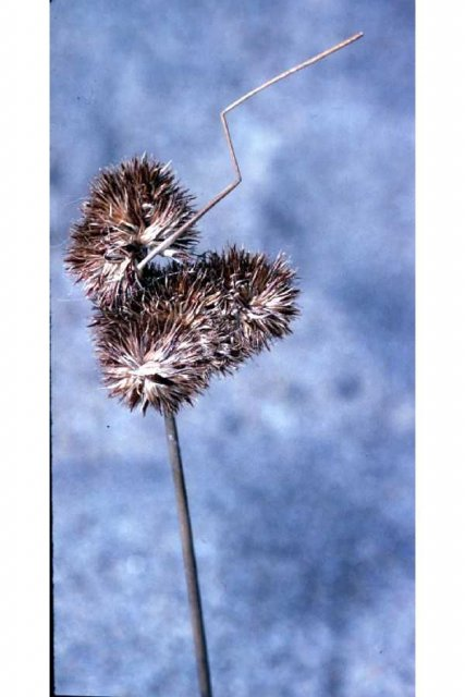 http://plants.usda.gov/gallery/large/juto_004_lvp.jpg