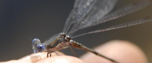 http://animaldiversity.ummz.umich.edu/site/resources/phil_myers/odonata/Lestidae/thorax1045.jpg/medium.jpg