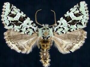 http://mothphotographersgroup.msstate.edu/species.php?hodges=10008