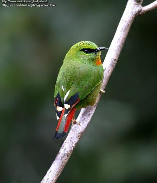 http://csdb.ioz.ac.cn/images/Upload_images/Animalia/Chordata/Aves/Passeriformes/Muscicapidae/Myzornis/pyrrhoura/B074E4BB-E54B-4F21-82B2-8B8E78CCE2D6.jpg