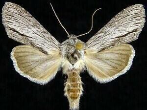 http://mothphotographersgroup.msstate.edu/species.php?hodges=10209