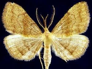 http://mothphotographersgroup.msstate.edu/species.php?hodges=8362
