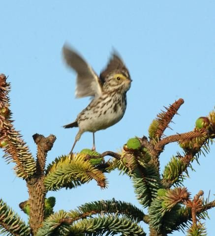 http://animaldiversity.ummz.umich.edu/site/resources/phil_myers/ADW_birds_3_4_03/savannah7523.jpg/medium.jpg