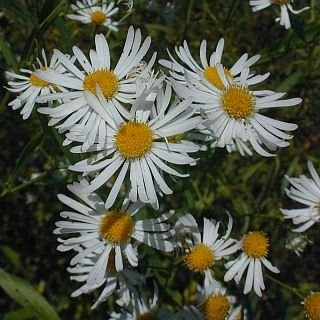http://www.illinoiswildflowers.info/wetland/plants/false_aster.htm