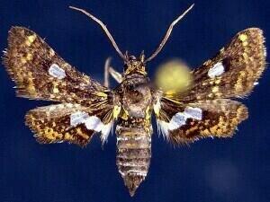 http://mothphotographersgroup.msstate.edu/species.php?hodges=6076