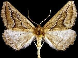http://mothphotographersgroup.msstate.edu/species.php?hodges=6958
