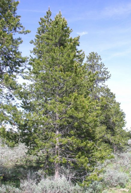 http://commons.wikimedia.org/wiki/File:Pine_tree_atop_Signal_Mountain.JPG