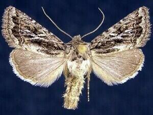 http://mothphotographersgroup.msstate.edu/species.php?hodges=10574