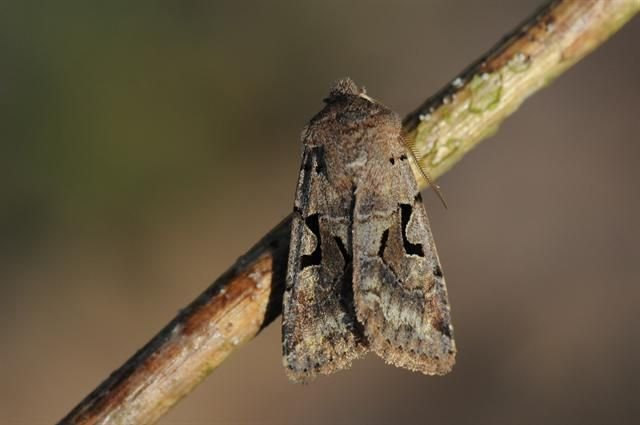 http://www.biopix.com/spotted-cutworm-xestia-c-nigrum_photo-89316.aspx