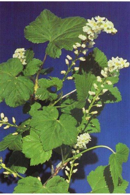 http://plants.usda.gov/gallery/large/rihu_002_lvp.jpg