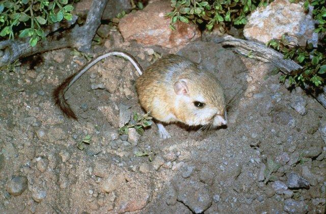 http://commons.wikimedia.org/wiki/File:Dipodomys_ingens.jpg