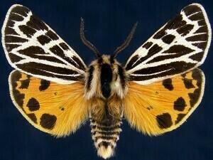 http://mothphotographersgroup.msstate.edu/species.php?hodges=8174