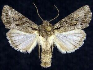 http://mothphotographersgroup.msstate.edu/species.php?hodges=10394