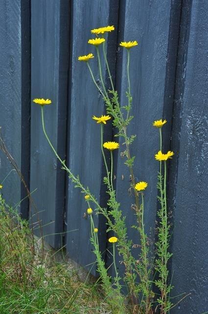 http://www.biopix.com/yellow-chamomile-anthemis-tinctoria_photo-103513.aspx