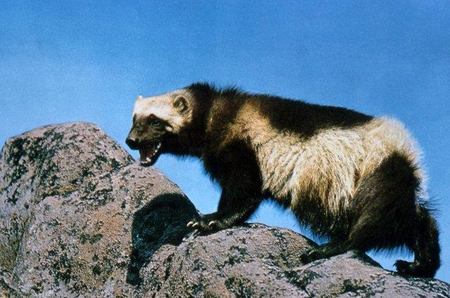 http://commons.wikimedia.org/wiki/File:Wolverine_on_rock.jpg