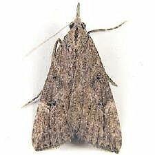 http://mothphotographersgroup.msstate.edu/species.php?hodges=8461