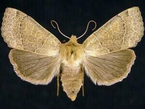 http://mothphotographersgroup.msstate.edu/species.php?hodges=9953