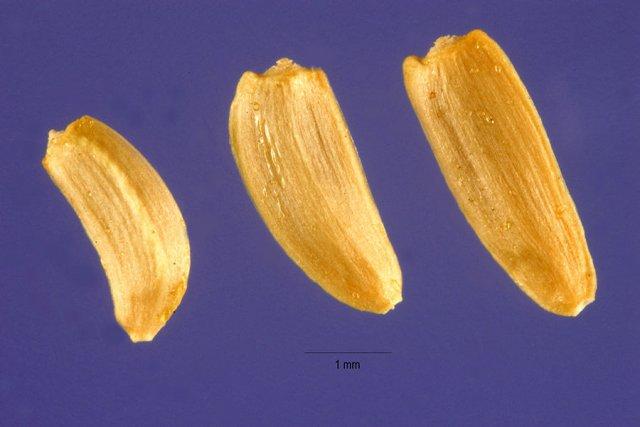 http://plants.usda.gov/java/largeImage?imageID=grsqs_001_ahp.tif
