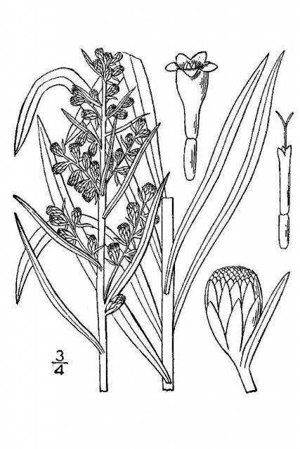 http://plants.usda.gov/java/largeImage?imageID=arlo7_001_avd.tif
