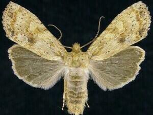 http://mothphotographersgroup.msstate.edu/species.php?hodges=9888