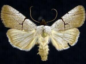 http://mothphotographersgroup.msstate.edu/species.php?hodges=10131.1