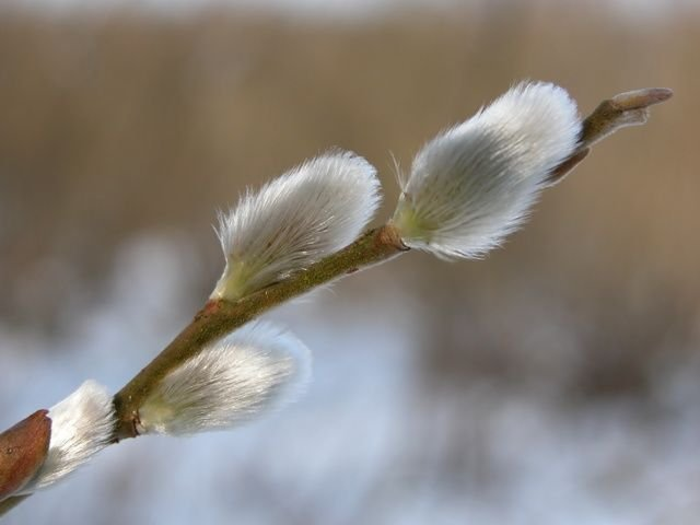 http://www.biopix.com/common-osier-salix-viminalis_photo-9546.aspx
