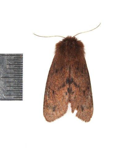 http://animaldiversity.ummz.umich.edu/collections/contributors/phil_myers/lepidoptera/Erebidae_L-P/Phragmatobia0218/