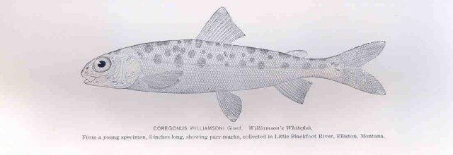 http://content.lib.washington.edu/cgi-bin/getimage.exe?CISOROOT=/fishimages&CISOPTR=33542&DMWIDTH=10000&DMHEIGHT=10000