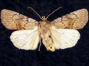 http://mothphotographersgroup.msstate.edu/species.php?hodges=10975