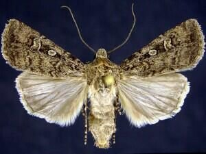 http://mothphotographersgroup.msstate.edu/species.php?hodges=10739