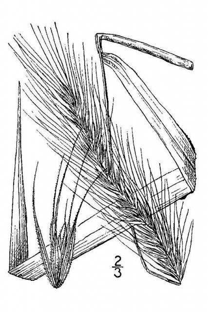 http://plants.usda.gov/java/largeImage?imageID=elau2_001_avd.tif
