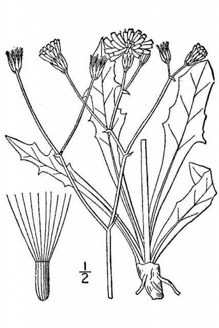 http://plants.usda.gov/java/largeImage?imageID=crgl5_001_avd.tif