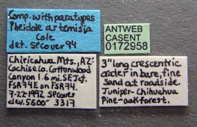 http://www.antweb.org/description.do?genus=pheidole&name=pilifera&rank=species