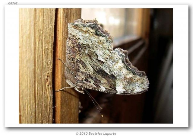 http://butterfliesofamerica.com/images/Nymphalidae/Nymphalinae/nymphalis_vaualbum_j-album/Nymphalis_vaualbum_j-album_365_Haskins_Road_Merrickville_Ontario_CANADA_28-III-2009_Bea_Laporte_1.JPG