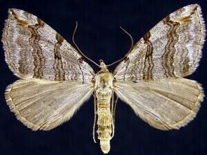 http://mothphotographersgroup.msstate.edu/species.php?hodges=7627